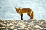 fox-on-hardings-beach