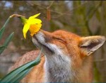 fox smelling flower