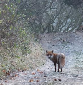 fox on track