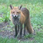 fox in rain