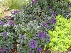Promenade-purple