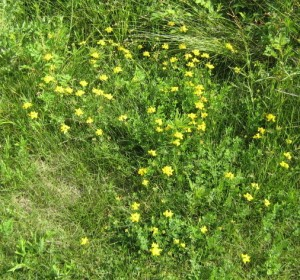 SRR-yellow flowers