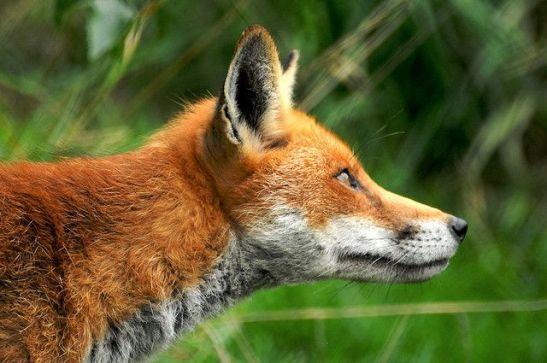 Red Fox by Martin Pettitt