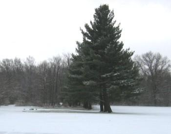pine tree, AUMC