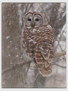 barred owl Wis.