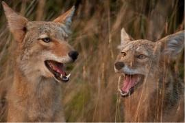 Foxes Matt Knoth