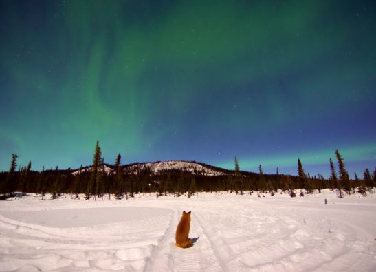 Foxy watches the Aurora Borealis