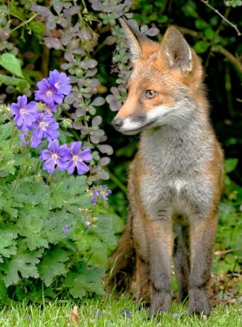 fox-and-flowers-hr_dxo