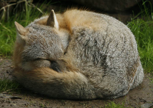 Red Fox Sleeping