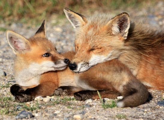 fox kit pillow