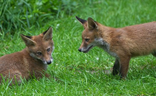 Foxes (2)