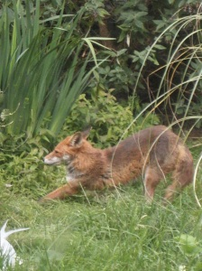 Urban fox stretching, by Chris Ide via Wikimedia Commons
