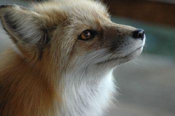 Fox-Sounds-Fuzzy-Freddy