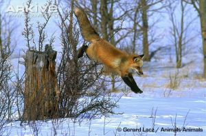 fox leaping, trunk