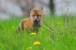NYS fox