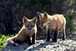 1024px-red_fox_cubs