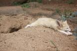 Fennec (Vulpes zerda)