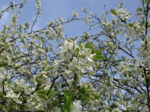 apple blossoms against sky