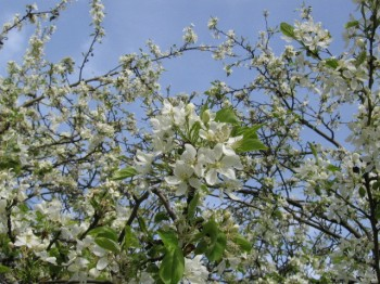 apple blossoms against sky