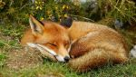 sleepy_fox_01
