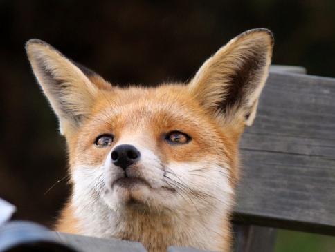 foxears