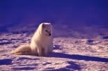 Norway Wildlife Animal Winter Arctic Snow Fox