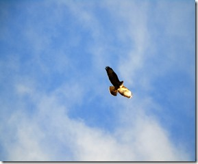 bluesky with buzzard