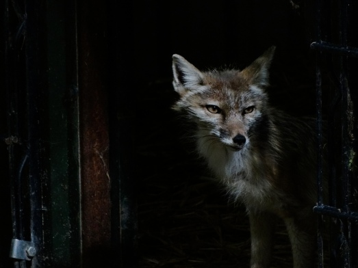 corsac-fox