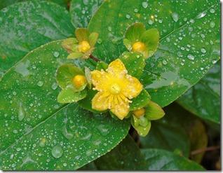 wet hypericum (2)